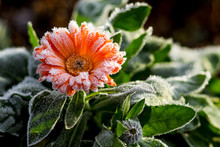 A Bright Flower Is Calendula, ...