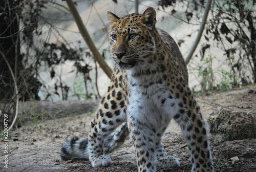 Photo  Leopard Stance Portrait