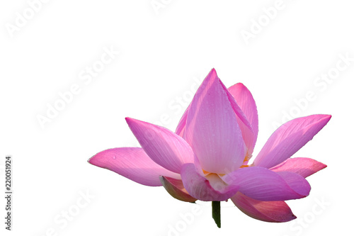 Staande foto Lotusbloem Fresh pink lotus petal flower isolated on white background. Close focus of beautiful pink lotus flowers isolated is blooming with copy space for text or advertising on white background