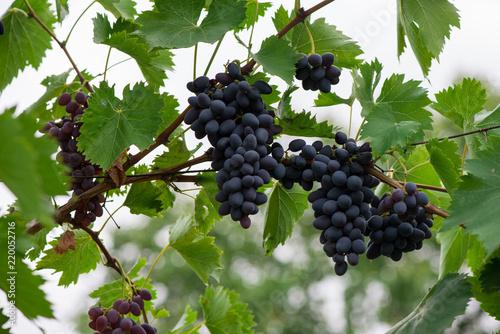 Fotografía  branch of grapes