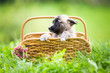 canvas print picture - Cute rescue puppy in basket