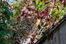 Leopard Int He Bushes