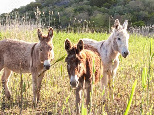 Deurstickers Ezel Three donkeys in the reeds