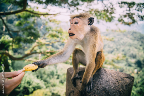 Spoed Foto op Canvas Aap monkey takes banana from man