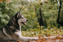 Siberian Husky Dog In Autumn Park