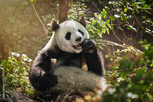 Vászonkép  Giant panda bear in China