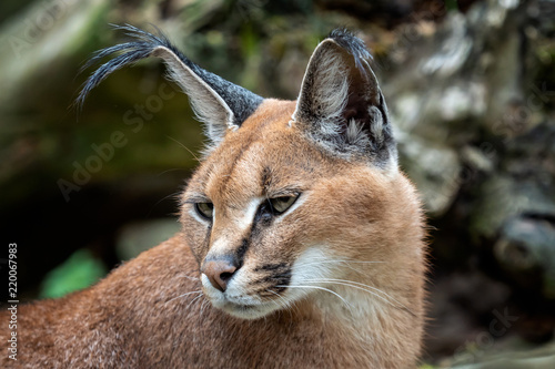 Fototapeta premium Portrait desert cats Caracal (Caracal caracal) or African lynx with long tufted ears