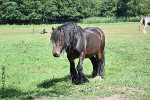 irish cob stallion in field