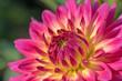 canvas print picture - Blühende Dahlie im Garten