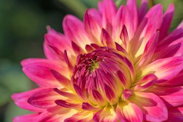 Blühende Dahlie im Garten