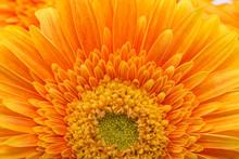 Subtle Orange Gerbera Flowers On White Background