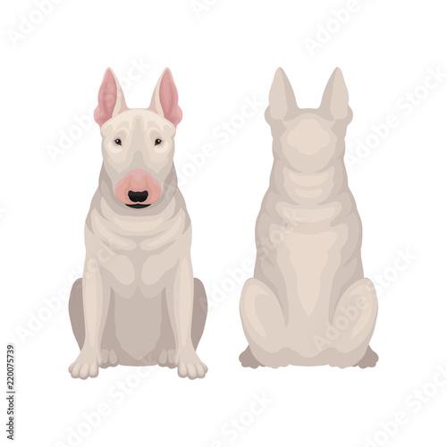 Billede på lærred Front and back view of sitting bull terrier