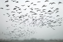 A Flock Of Birds In The Fog