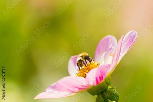 Biene bestäubt wunderschöne pinke Dahlie (Asteracea) an einem sonnigen Morgen.