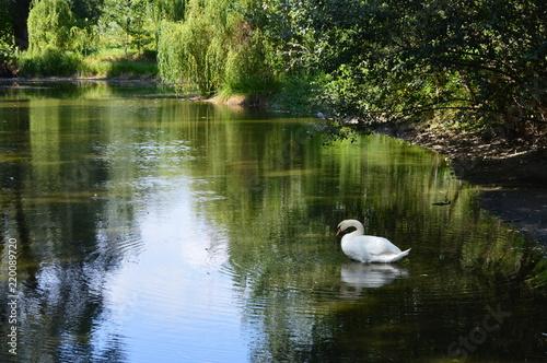 Foto op Canvas Zwaan a white swan on the lake in woods