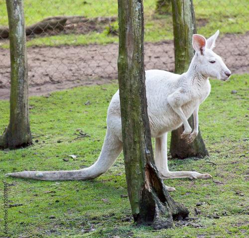 Fotografie, Obraz  Albino kangaroo between trees
