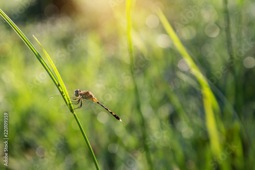Fotografie, Obraz  Dragonfly on a green grass with dew on the grass and sunny morning