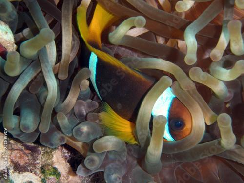 Fotografie, Obraz  Clownfish, Nemo, Anemone