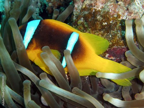 Fotografie, Obraz  Clownfisch, Nemo, Annemone
