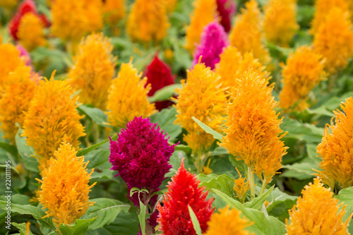 colorful spring flower fields at chiang mai, thailand Canvas-taulu