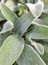 Close Up Of Silver Green Velvety Foliage Of A Lambs Ear Plant