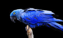 Blue And Yellow, Endangered Hy...
