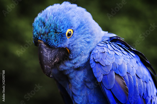 Deurstickers Papegaai Blue and yellow, endangered Hyacinth Macaw (parrot)