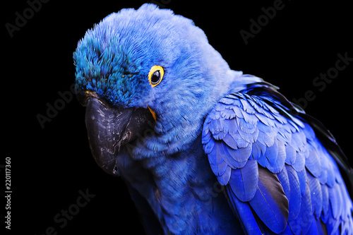 Foto op Aluminium Papegaai Blue and yellow, endangered Hyacinth Macaw (parrot) on a black background