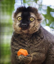 Funny Lemur Caught Red Handed Eating A Carrot. Adorable. Brown And Black Coloring