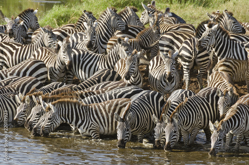 Aluminium Prints Zebra Serengeti, Tansania