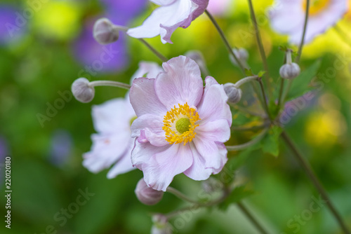 Fotografie, Obraz Pastel color outdoor floral impressionistic image of a blooming bright pink autu