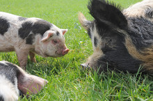 Mummy Pig And Her Baby Piglets In A Field