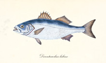 Ancient Colorful Illustration Of European Bass (Dicentrarchus Labrax), Side View Of The Silvery Fish With Its Thorny Dorsal Fins, Isolated Element On White Background. By Edward Donovan. London 1802