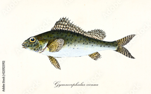 Fotografia  Ancient colorful illustration of Eurasian Ruffe (Gymnocephalus cernua), side view of the greenish fish with his thorny dorsal fins, isolated element on white background