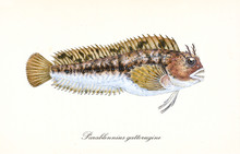 Ancient Colorful Illustration Of Tompot Blenny (Parablennius Gattorugine), Fish Side View With Its Long Lines Of Thorny Fins, Isolated Elements On White Background. By Edward Donovan. London 1802