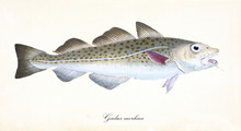 Ancient Colorful Illustration Of Atlantic Cod (Gadus Morhua), Side View Of The Fish With Its Darkish And Silvery Dotted Skin, Isolated Element On White Background. By Edward Donovan. London 1802