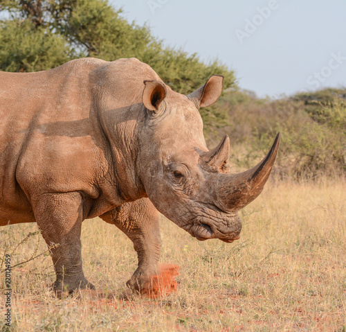 Poster Neushoorn White Rhino Walking