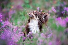 Adorable Chihuahua Dog Posing ...