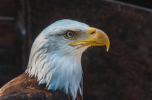 Portrait D'un Pygargue à Tête Blanche Emblème Des états-unis D'amérique