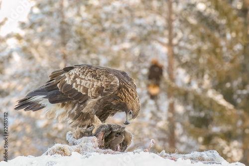 Photo  Golden eagle rips pieces of meat from frozen deer carcass