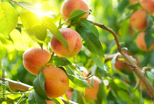 Fotomural Ripe peaches on a tree in a fruit garden.
