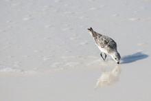 Sandpiper Hunting For Food On Okaloosa Isand Florida