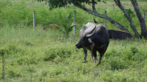 Tuinposter Buffel water buffalo or domestic Asian water buffalo is a large bovid originating in South Asia
