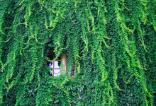 Lush Green Wall Of Hedera Helix Or Creeper Ivy Carpet Foliage Pattern