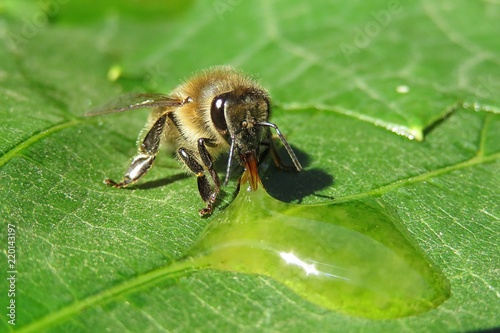 Bee on a green leaves