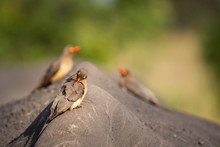Close-up Of An Oxpecker Bird Grooms Itself With Two Other Oxpeckers Behind It, On The Back Of A White Rhino In South Africa