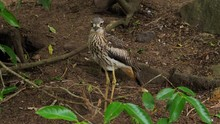A Bush Stone Curlew Bird Stand...