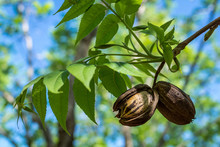 Pecans Hanging From Green Leaved Branch