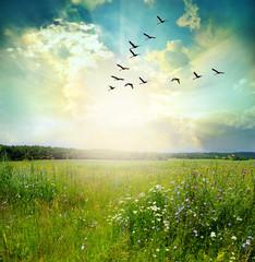 Fototapeta Łąka Flying birds over a green field at sunset