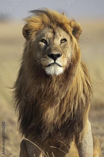 Spoed Foto op Canvas Leeuw lion